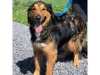 Adopt Sheldon a Brown/Chocolate - with Black Collie / Mixed dog in Dublin