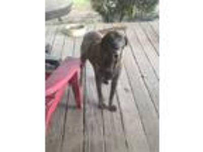 Adopt Mocha a Brown/Chocolate - with White Australian Shepherd / Shar Pei dog in