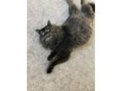 Adopt Sebastian a Brown or Chocolate (Mostly) Domestic Longhair / Mixed cat in