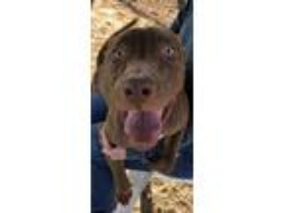 Adopt Scooby a Brown/Chocolate Retriever (Unknown Type) / Mixed dog in