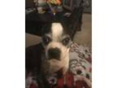 Adopt Cici a Boston Terrier