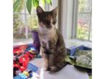 Adopt Jenny a Brown or Chocolate Domestic Shorthair cat in Woodstock