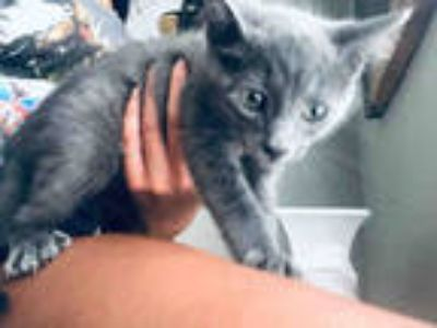 Adopt GORDO a Gray or Blue Domestic Shorthair / Mixed (short coat) cat in San