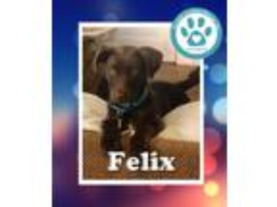 Adopt Felix a Brown/Chocolate Labrador Retriever / Shepherd (Unknown Type) /