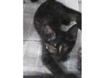 Adopt Sandra a All Black Domestic Shorthair / Domestic Shorthair / Mixed cat in