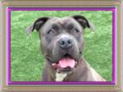 Adopt GIA a Pit Bull Terrier
