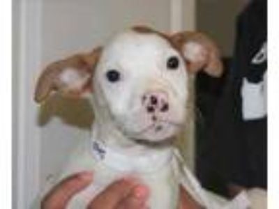 Adopt Lyla a White American Pit Bull Terrier / Mixed dog in Spartanburg