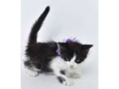 Adopt Deli a All Black Domestic Shorthair / Domestic Shorthair / Mixed cat in