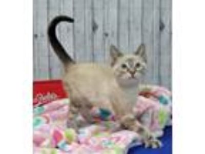 Adopt Trinket a Siamese / Mixed (short coat) cat in Roanoke, TX (25923272)