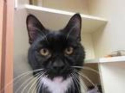 Adopt Dave a All Black Domestic Shorthair / Domestic Shorthair / Mixed cat in