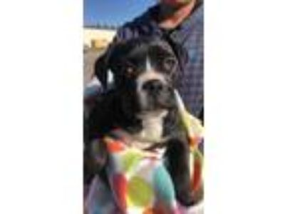 Adopt Cherry a Black Boxer / Mixed dog in Justin, TX (25047802)
