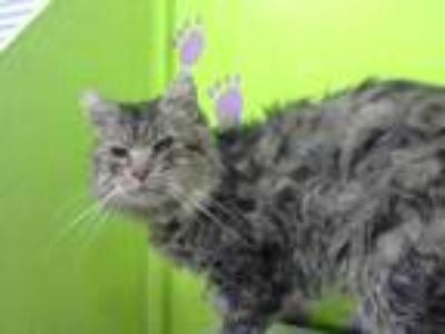 Adopt MIGHTY MOUSE a Brown Tabby Domestic Shorthair / Mixed (short coat) cat in