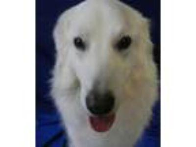 Adopt CHUNK a Maremma Sheepdog, Great Pyrenees