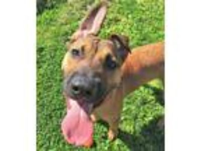 Adopt Titan a Pit Bull Terrier, German Shepherd Dog