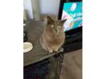 Adopt Gus a Gray or Blue Domestic Longhair / Mixed cat in Warren, MI (23516771)