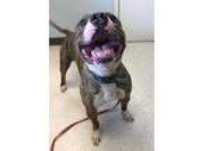 Adopt Russ a Brindle Pit Bull Terrier / Mixed dog in Marion, OH (23204780)