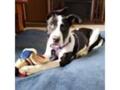 Adopt Burley a White Great Dane / Mixed dog in Inver Grove Heights