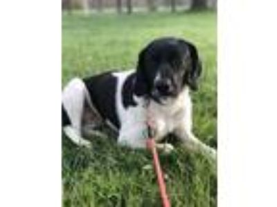 Adopt Emily a White Spaniel (Unknown Type) / Mixed dog in Pequot Lakes