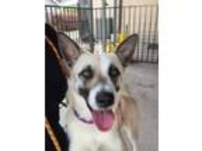 Adopt Carly a German Shepherd Dog