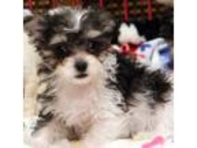 Adopt Tammy a Black - with White Terrier (Unknown Type, Medium) / Poodle