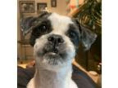 Adopt Gucci a White - with Gray or Silver Shih Tzu / Mixed dog in Overland Park