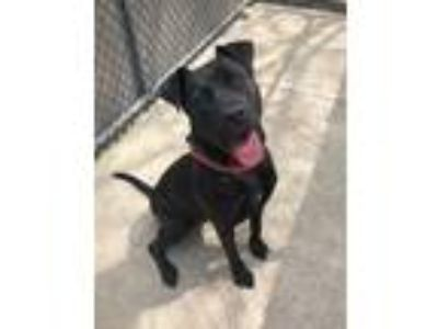 Adopt Valerie a Black Pit Bull Terrier / Mixed Breed (Medium) / Mixed dog in