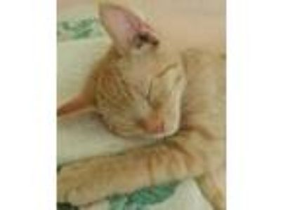 Adopt Otis a Orange or Red Domestic Shorthair / Domestic Shorthair / Mixed cat