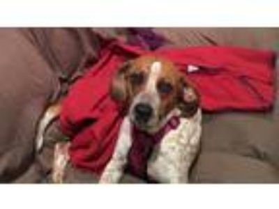 Adopt Corn Dog a Brindle - with White German Shorthaired Pointer / Mixed dog in