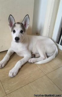 Siberian Husky Puppies, gorgeous, loving, ready for homes