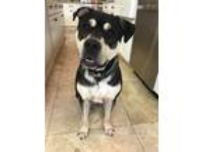 Adopt Buckett a Black - with White Labrador Retriever / Rottweiler / Mixed dog