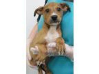 Adopt Wilton a Labrador Retriever, Hound
