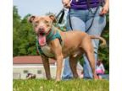 Adopt Harley a American Staffordshire Terrier / Labrador Retriever / Mixed dog