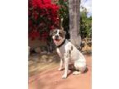 Adopt Hank a White - with Brown or Chocolate English Pointer / Mixed dog in