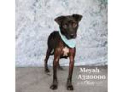 Adopt MEYAH a Pit Bull Terrier, Mixed Breed