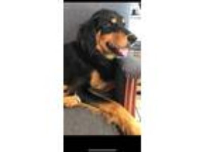 Adopt Polly a Red/Golden/Orange/Chestnut - with Black Gordon Setter / Mixed dog