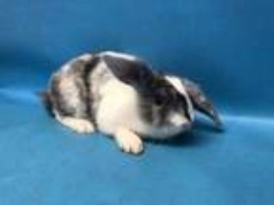 Adopt Rabbit Downey Jr. a White Harlequin / Mixed rabbit in Coon Rapids