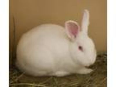 Adopt Bernard a Other/Unknown / Mixed (short coat) rabbit in Baton Rouge
