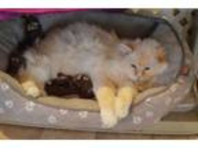 Adopt Sugar a Domestic Medium Hair, Siamese