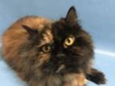 Adopt Cleopatra a All Black Persian / Domestic Shorthair / Mixed cat in Golden