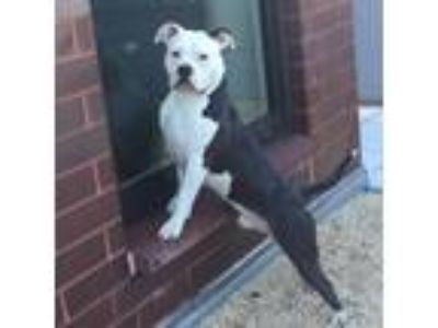Adopt Jax a Black - with White Bull Terrier / Mixed dog in Brooklyn