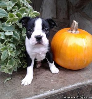 Amazing Boston Terrier puppy