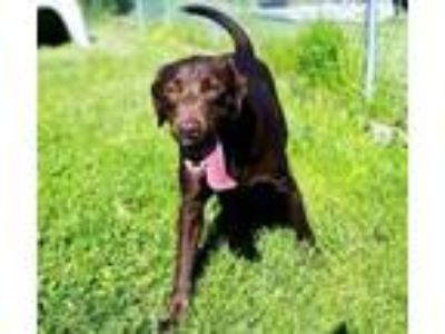 Adopt Jennifer a Brown/Chocolate Labrador Retriever / Mixed dog in Wooster