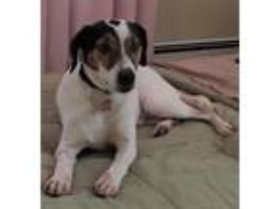 Adopt Chester a Tricolor (Tan/Brown & Black & White) Terrier (Unknown Type