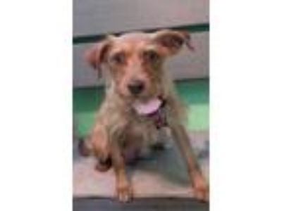 Adopt Ginger a Yorkshire Terrier, Silky Terrier