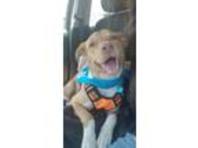 Adopt Kugel Cay a Tan/Yellow/Fawn Retriever (Unknown Type) / Mixed dog in Fort