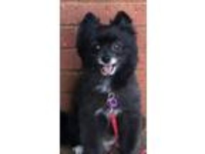 Adopt Girly a Black - with White Pomeranian / Mixed dog in Dallas, TX (25537658)