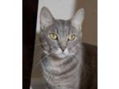 Adopt Beck a Gray, Blue or Silver Tabby Domestic Shorthair (short coat) cat in