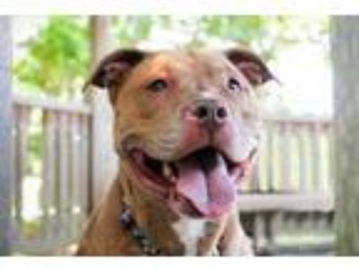 Adopt Coco a Pit Bull Terrier