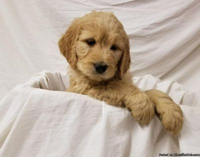 koi goldendoodle Pups for sale.