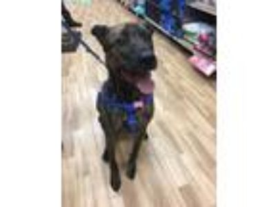 Adopt Moose a Brindle Shepherd (Unknown Type) / Mixed dog in Northville